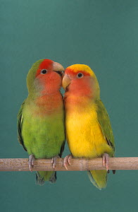 Pair of Lovebirds (Agapornis sp) perched - Ernie Janes