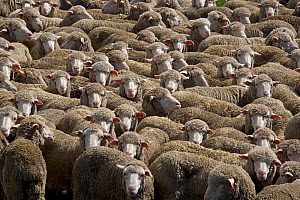 Large flock of Merino Sheep, New Zealand, February 2009  -  Ernie Janes