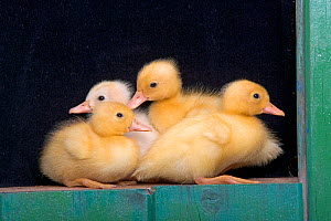 Four Ducklings in shed, UK - Ernie Janes