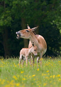 Asiatic wild ass (Equus hemionus) with foal, captive, UK, endangered species  -  Ernie Janes