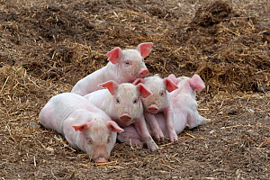 Free range Domestic pig (Sus scrofa domesticus) five piglets in a huddle, UK, August 2010 - Ernie Janes