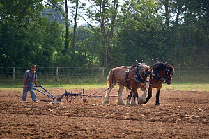 Farmer ploughing with a pair of Heavy horses, UK, July 2008  -  Ernie Janes