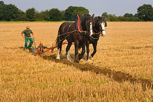 Farmer ploughing with a pair of Heavy shire horses, UK, September 2008  -  Ernie Janes