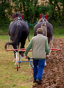 Farmer ploughing with a pair of Heavy shire horses, UK, July 2008  -  Ernie Janes