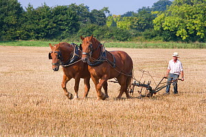 Farmer ploughing with a pair of Suffolk Punch Heavy horses, UK, September 2008  -  Ernie Janes