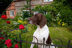 Domestic dog, Pointer on guard in cottage garden, Norfolk, UK, July 2008 - Ernie Janes