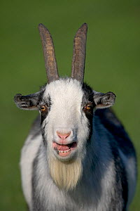 Domestic goat (Capra hircus) pygmy goat bleeting, portrait, UK  -  Ernie Janes