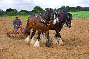 Harrow pulled by a pair of working Shire Horses, UK, July 2007  -  Ernie Janes