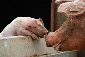 Domestic pig, free range sow and piglet sniffing noses, UK, August 2010  -  Ernie Janes
