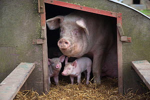 Domestic pig, hybrid large white sow and piglets in sty, UK, September 2010  -  Ernie Janes