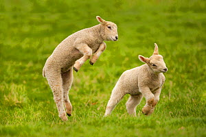 Domestic sheep, lambs playing in field, Goosehill Farm, Buckinghamshire, UK, April 2005  -  Ernie Janes