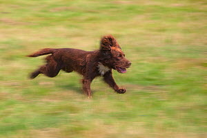 English Springer Spaniel running, Norfolk, UK  -  Ernie Janes