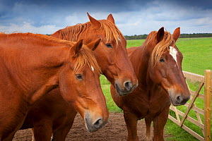 Suffolk Punch heavy horses in field, UK, September  -  Ernie Janes