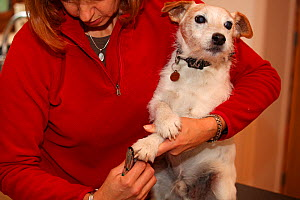 Woman holding and clipping the nails of a Jack Russell terrier, UK - Ernie Janes