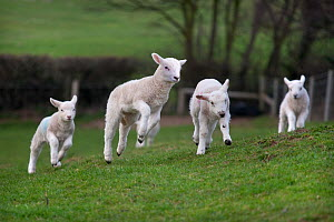 Domestic sheep, lambs playing in a field, Norfolk, UK, March  -  Ernie Janes