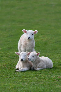 Domestic sheep, three lambs together in a field, Norfolk, UK, March - Ernie Janes