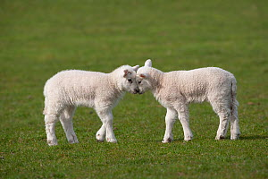 Domestic sheep, two lambs play head-butting in a field, Norfolk, UK, March - Ernie Janes