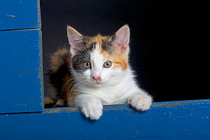 Domestic cat, tortoiseshell kitten in blue shed  -  Ernie Janes