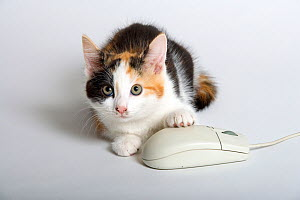 Domestic cat, tortoiseshell kitten playing with computer mouse  -  Ernie Janes