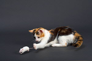Domestic cat, tortoiseshell kitten playing with white mouse - Ernie Janes