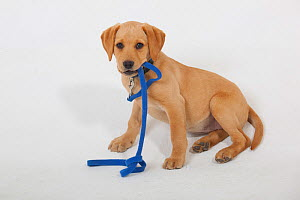 Yellow Labrador puppy playing with blue leash - Ernie Janes