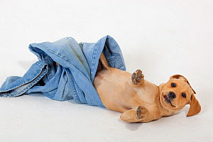 Yellow Labrador puppy playing with a pair of old jeans  -  Ernie Janes