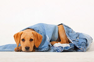 Yellow Labrador retriever puppy playing with a pair of old jeans  -  Ernie Janes