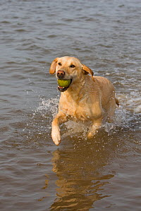 Yellow Labrador retriever fetching ball from sea water, Norfolk, UK, March - Ernie Janes