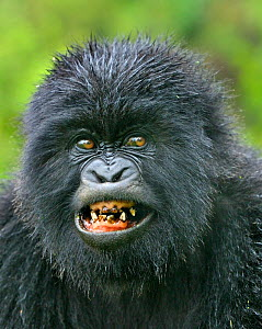 Mountain gorilla (Gorilla beringei) youngster with bad teeth in Susa group, Parc National des Volcans, Rwanda - Andy Rouse