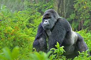 Mountain gorilla (Gorilla beringei) silverback in Susa group, Parc National des Volcans, Rwanda  -  Andy Rouse