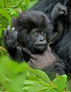 Mountain gorilla (Gorilla beringei) baby in mother's arms, Susa group, Parc National des Volcans, Rwanda  -  Andy Rouse