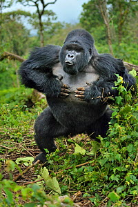 Mountain gorilla (Gorilla beringei) silverback beating chest and charging, Susa group, Parc National des Volcans, Rwanda - Andy Rouse