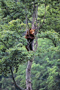 Brown Bear (Ursus arctos) climbing tree, South Carpathian mountains, Romania  -  Angelo Gandolfi