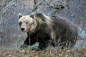 Brown Bear (Ursus arctos) Abruzzo National Park, Italy, December  -  Angelo Gandolfi