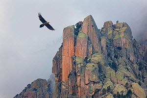 Lammergeier (Gypaetus barbatus) in flight over  rocky outcrops, Monte Incudine,  Parc Naturel Regional de Corse, Corsica island, France, February  -  Angelo Gandolfi