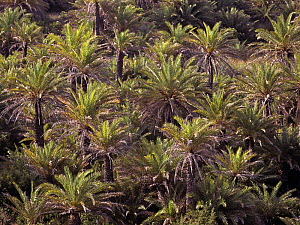 Cretan palm tree forest (Phoenix theophrasti) viewed from above, Vai, Crete, Greece  -  Angelo Gandolfi