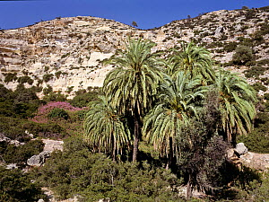 Cretan palm tree forest (Phoenix theophrasti) Vai, Crete, Greece  -  Angelo Gandolfi