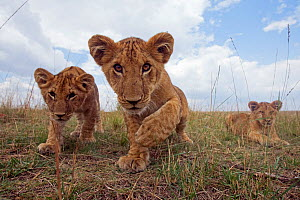 Inquisitive African lion cubs (Panthera leo) wide angle perspective, Masai Mara National Reserve, Kenya. August  -  Anup Shah