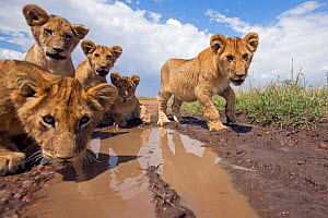African lion cubs (Panthera leo) drinking from a puddle, Masai Mara National Reserve, Kenya. September  -  Anup Shah