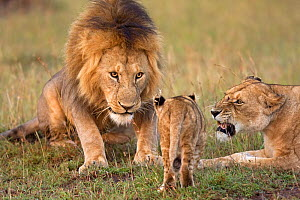 African Lions (Panthera leo) male and female watching with irritation as a young cub aged 6-9 months approaches, Masai Mara National Reserve, Kenya. December  -  Anup Shah