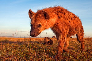 Spotted hyena (Crocuta crocuta) approaching with suspicion, Masai Mara National Reserve, Kenya. December  -  Anup Shah