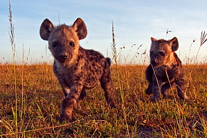 Spotted hyena (Crocuta crocuta) pups approaching with curiosity, Masai Mara National Reserve, Kenya. December  -  Anup Shah
