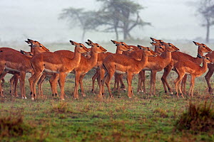 Impala herd (Aepyceros melampus) huddled together in the rain, Masai Mara National Reserve, Kenya. April - Anup Shah