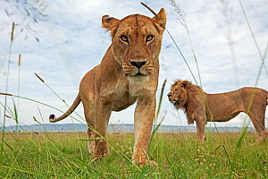 African lioness (Panthera leo) portrait with male behind, Masai Mara National Reserve, Kenya. February  -  Anup Shah