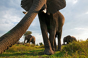 African elephant (Loxodonta africana) investigating with its trunk, Masai Mara National Reserve, Kenya. March - Anup Shah