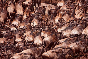 Eastern White-bearded Wildebeest (Connochaetes taurinus) herd moving up the river bank, Masai Mara National Reserve, Kenya. August  -  Anup Shah