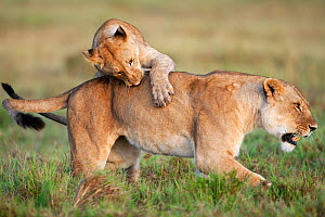 African Lion cub (Panthera leo) aged 1-2 years play fighting with a lioness, Masai Mara National Reserve, Kenya. March  -  Anup Shah