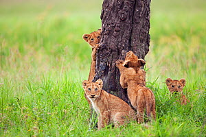Four African Lion cubs (Panthera leo) aged 3-6 months, sharpening their claws on tree trunk, Masai Mara National Reserve, Kenya. February - Anup Shah