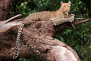 Leopard (Panthera pardus) lying in a tree, Masai Mara National Reserve, Kenya. February - Anup Shah