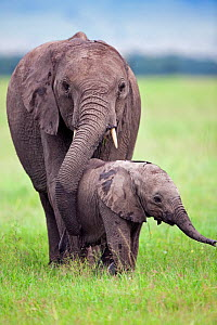 African elephant calf (Loxodonta africana)a ged 3-6 months walking with a sub-adult, Masai Mara National Reserve, Kenya. March  -  Anup Shah